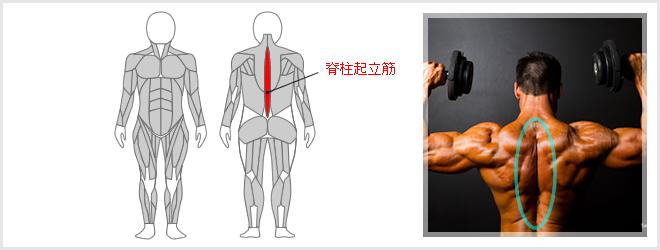 バック・エクステンションで鍛えられる筋肉